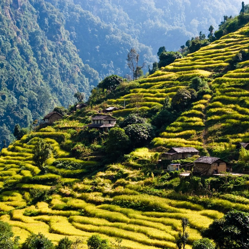 Rice terraces While trekking around the Annapurnas