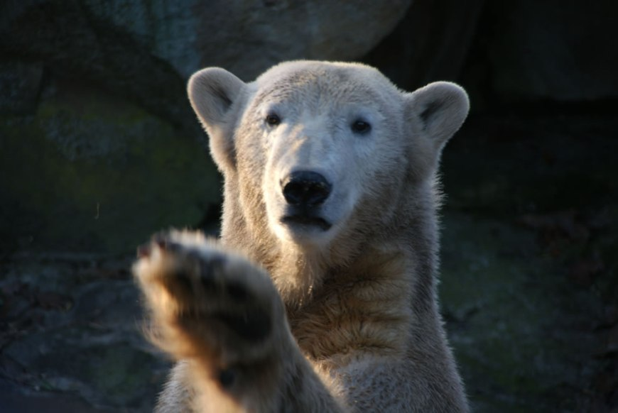Polar Bear Knut Hey you