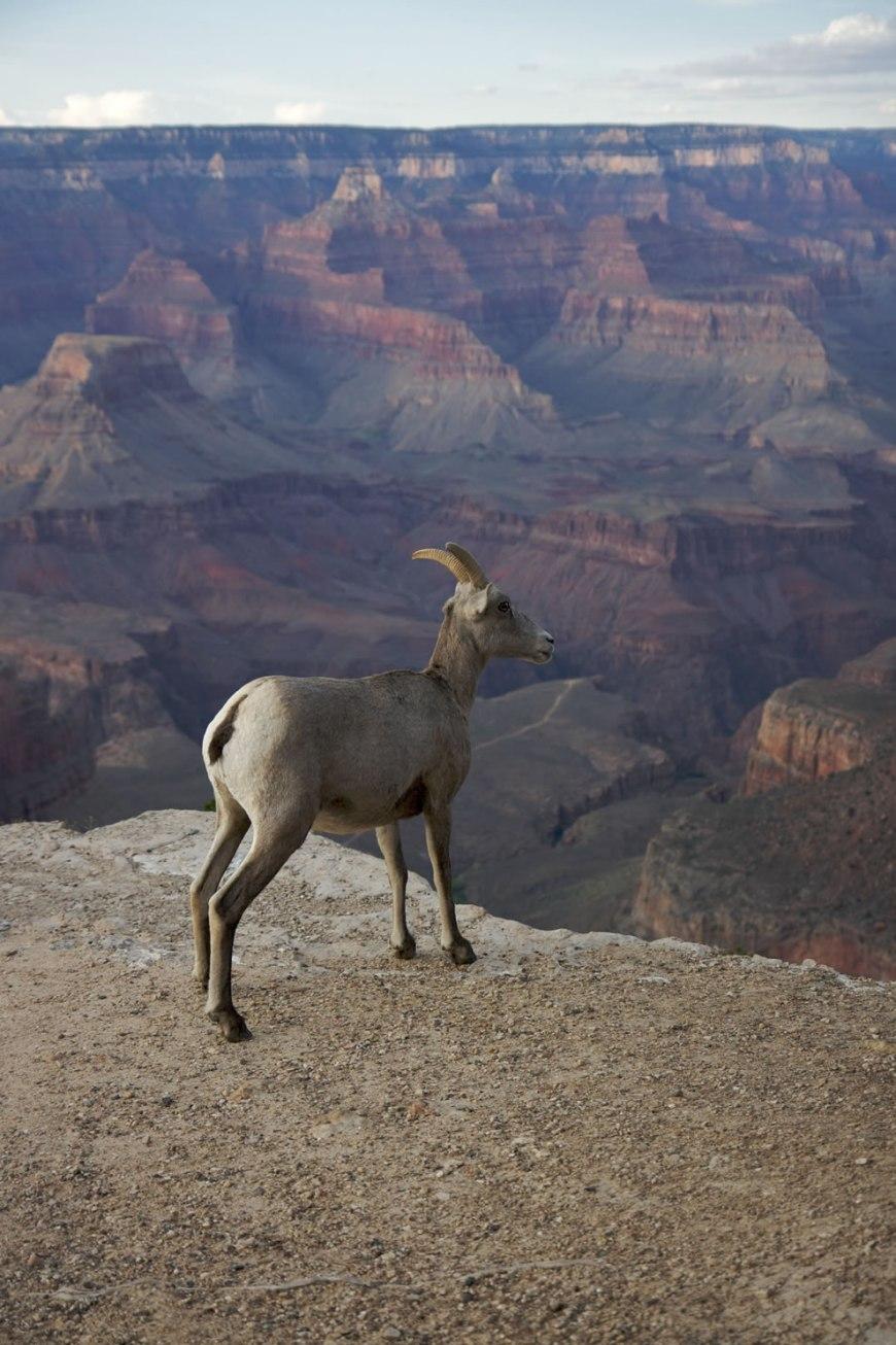 Mountain goat - Bighorn, Grand Canyon
