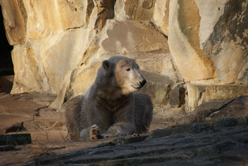Polar bear Knut at the age of 2 years Zoo of Berlin
