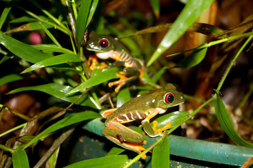 2 red-eyed tree frogs