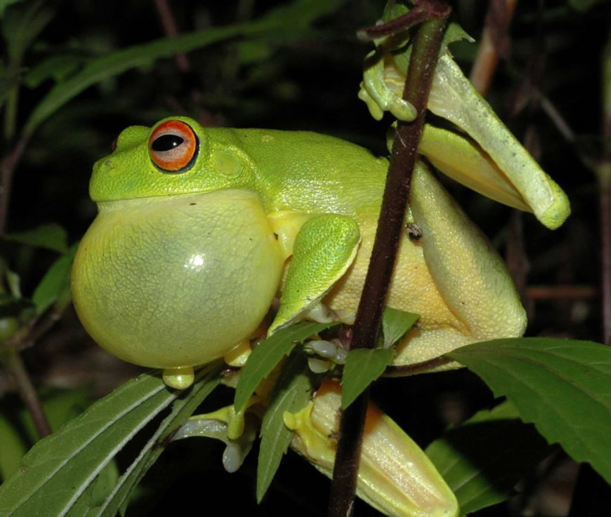 A Red eyed Tree Frog (Litoria chloris) calling