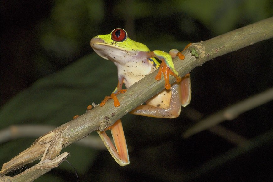 Agalychnis callidryas, in Cahuita, Costa Rica