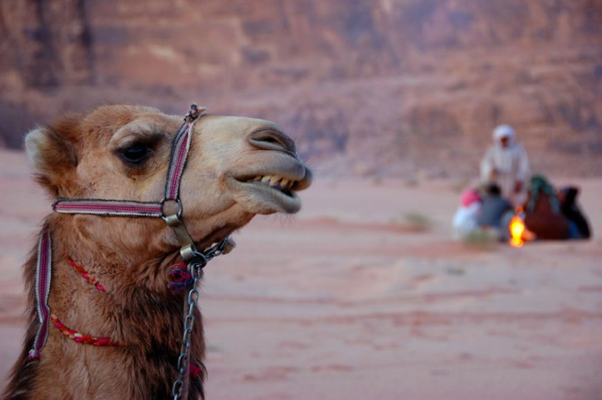 camel and campfire in the desert of wadi rum