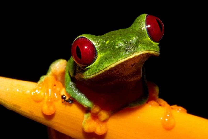 Cute Red-eyed Treefrog (Agalychnis callidryas)