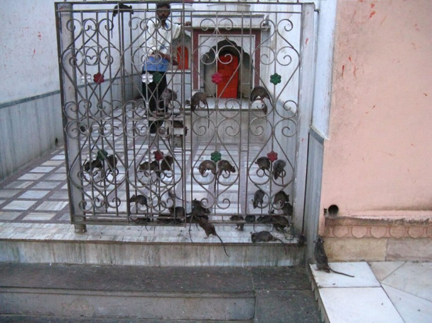 Gates crawling with rats at rat temple Karni Mata