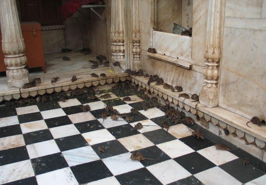 Karni Mata Temple, Deshnoke, Rajasthan, India