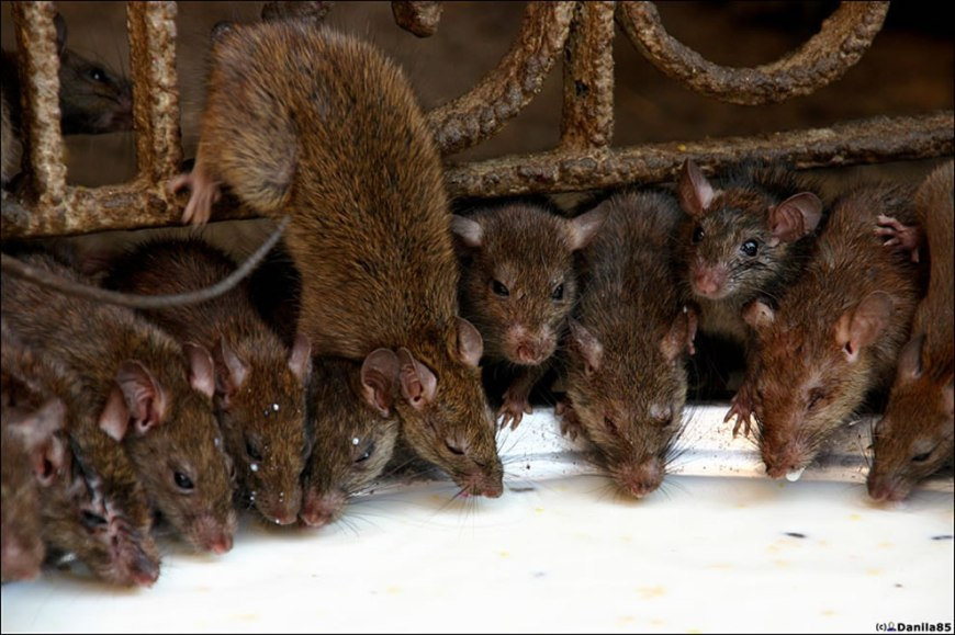 more rats at rat temple
