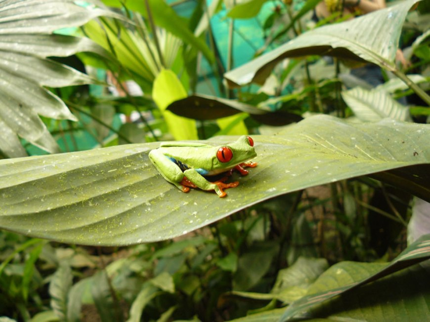 Red Eye Frog at Danaus Eco Center
