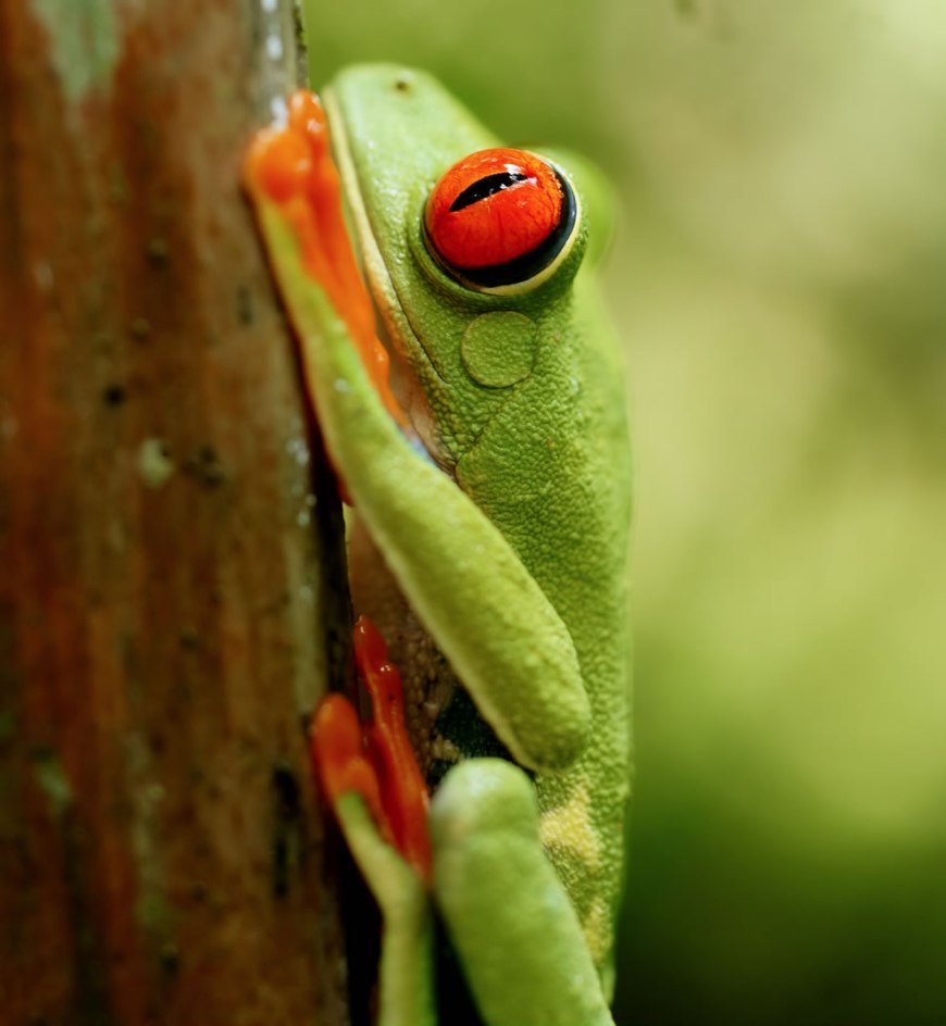Red-eyed Tree Frog near Las Horquetas, Costa Rica