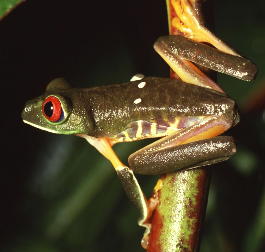 Red-eyed treefrog (female), photographed on Barro Colorado Island, Panama