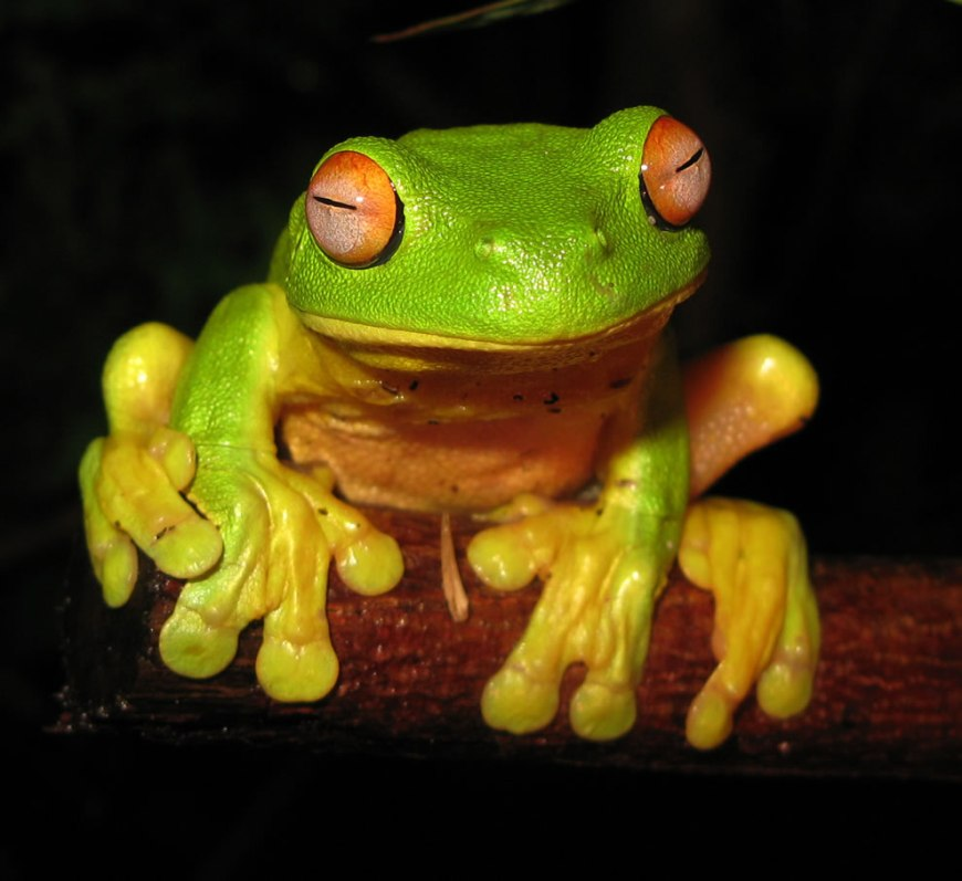 The Red-eyed Tree Frog (Litoria chloris) found in eastern Australia