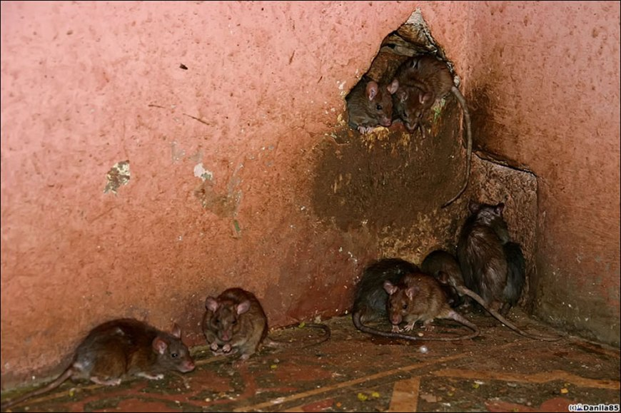 They sleep in small groups in the rat temple