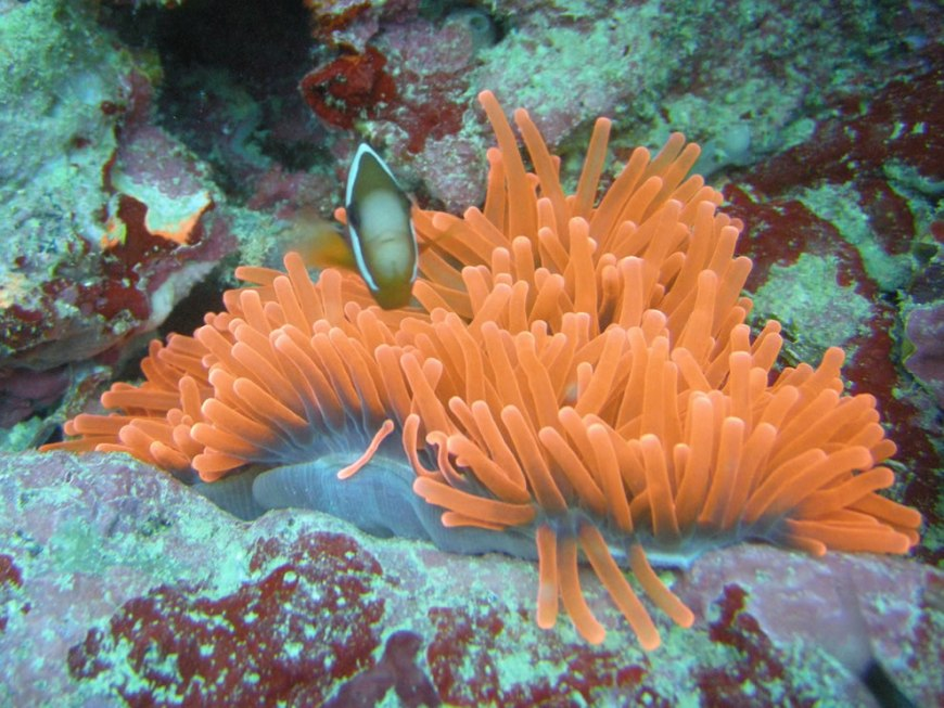 Anemone Fish on the deck of the Yamagiri Maru