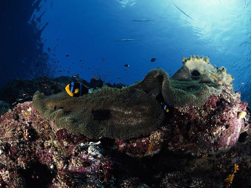 Anemone, Truk Lagoon, Micronesia