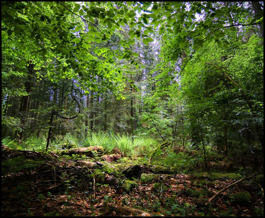Black Forest jungle
