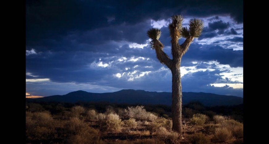 Joshua Tree in Death Valley