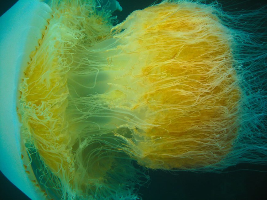 Nomura jellyfish in Little Munsom island, Jeju-do, South Korea