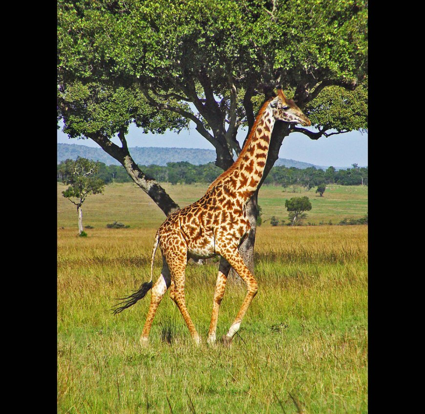 Giraffe running in the plains of the Masai Mara