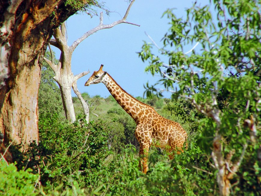 Giraffe standing among trees, in the national park of the Tsavo East, Kenya