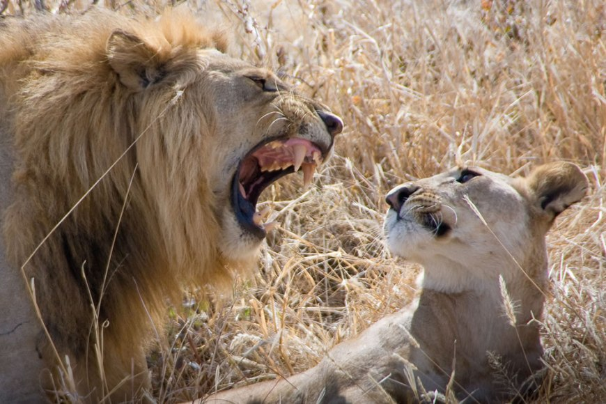 Tarangire Safari - A Lion's love story
