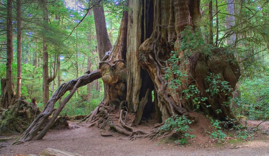 The Kalaloch Cedar in the Olympic National Park, with a dbh of 599 (19,6 ft) cm and wood volume of 350 cubic meters (12,270 cu ft)