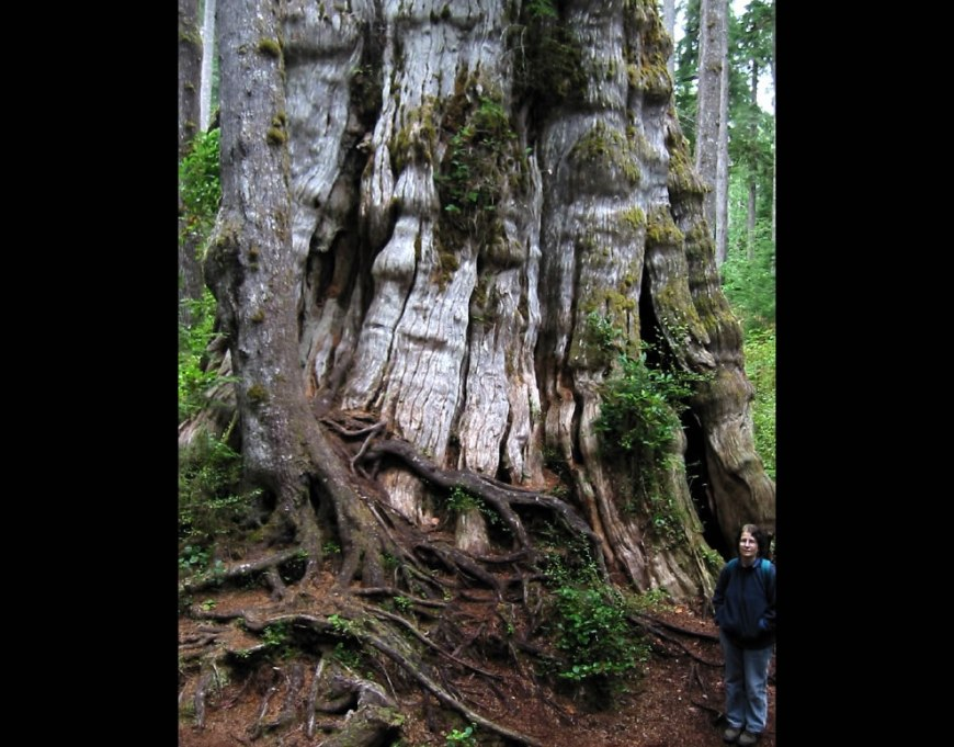 The largest known Western Redcedar, in the world