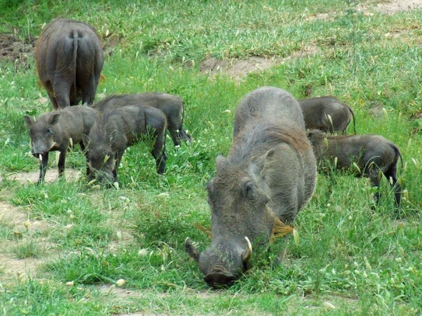 Warthog family in South Africa