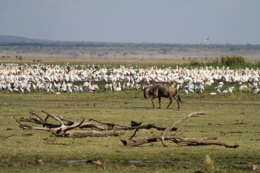 Wildebeest, storks and pelicans