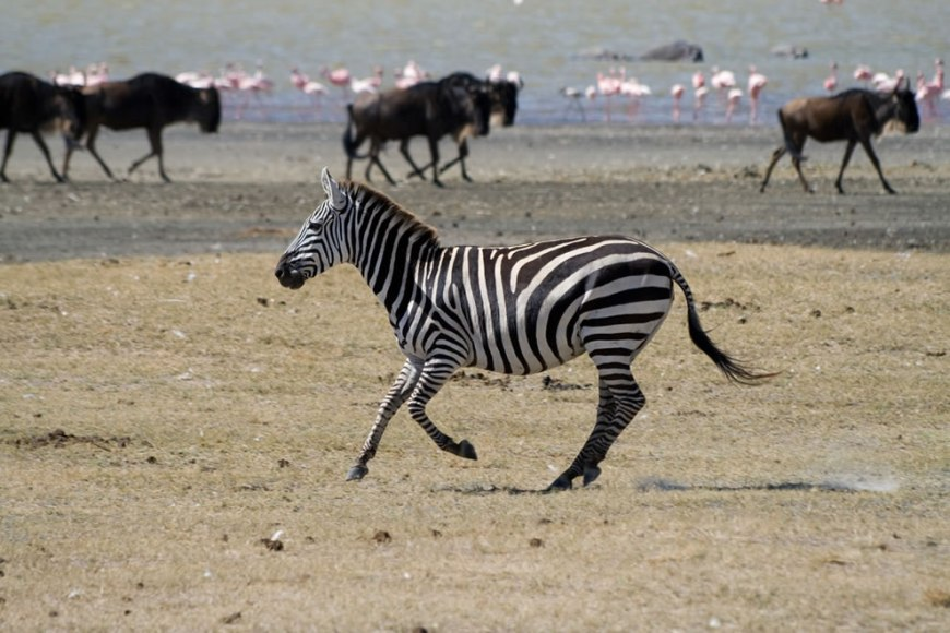 Zebra, Wildebeests and flamingos