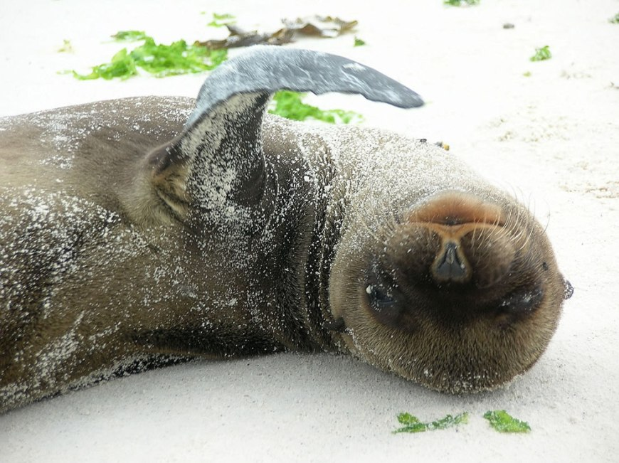 A squirming baby sea lion (less than 6 weeks old) on the beach of Espanola Island in the Galapagos