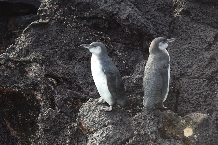 Galapagos penguins on rocks of Galapagos Islands