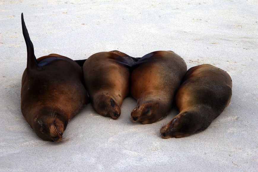 Sea Lions - Gardner Bay - Espanola Island - Galapagos Islands