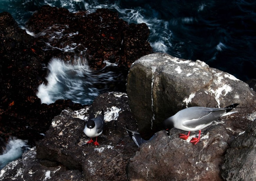Swallow-tailed gulls - Islas Plazas - Galapagos Islands