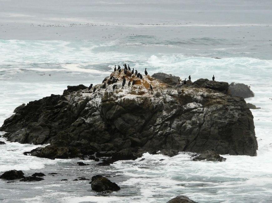 MacKerricher State Park - cormorants, and a pelican too