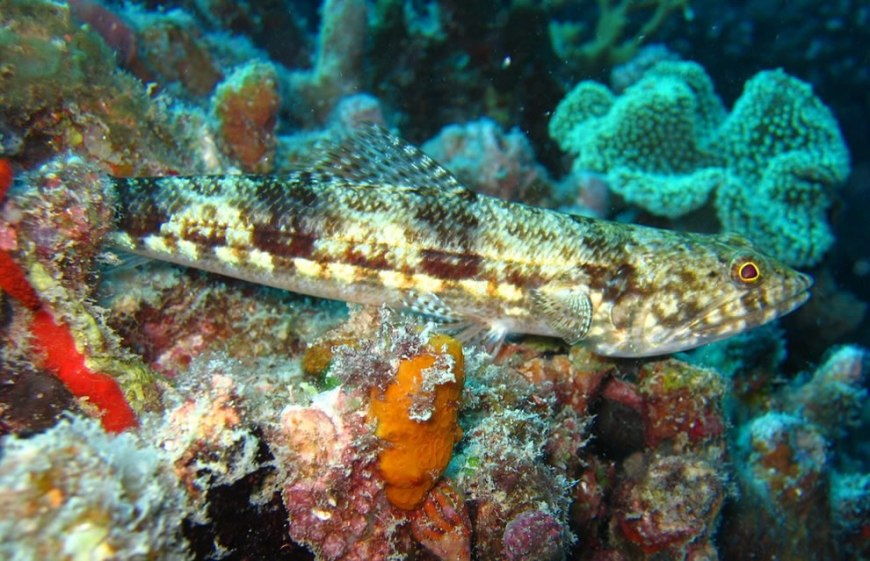 A Variegated Lizardfish rests upon sponges. G Spot, St Crispin's Reef, Great Barrier Reef