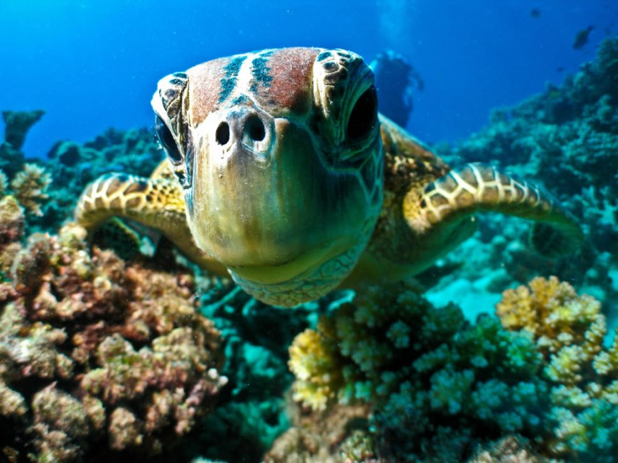 Diving in Australia, turtle at Great Barrier Reef