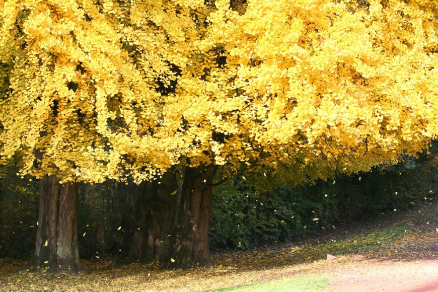 Golden Fall foillage in Belgium