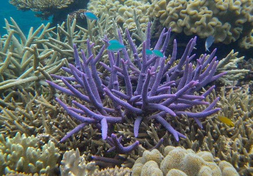 GBR Chromis Viridis on purple Acropora