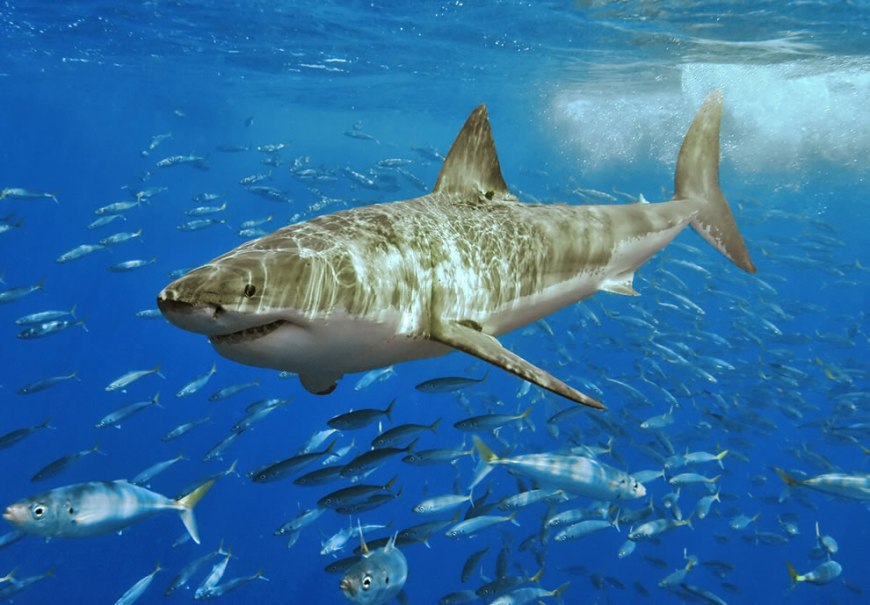Great White Shark at GBR