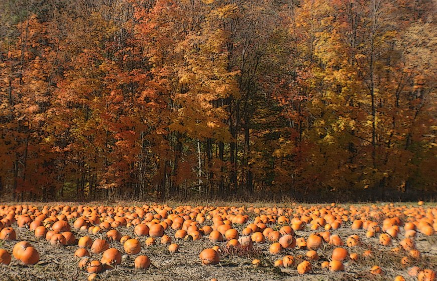 Canada: Ontario Pumpkin field in the fall, Niagara Escarpment