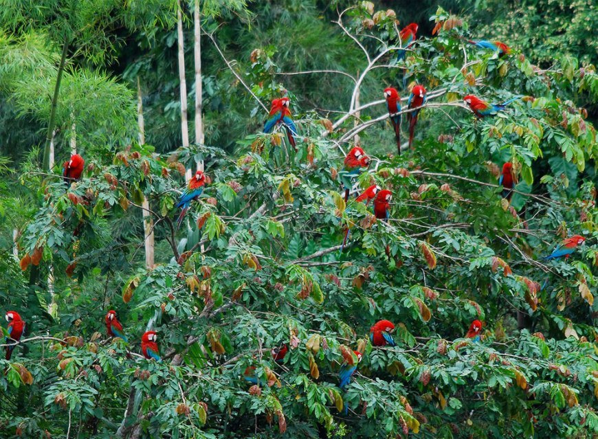 Red-and-Green Macaws DO grow on trees in the Amazon