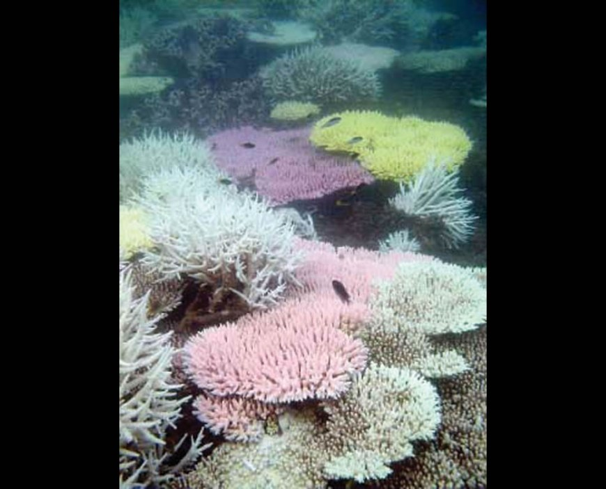 stressed, bleached coral colony