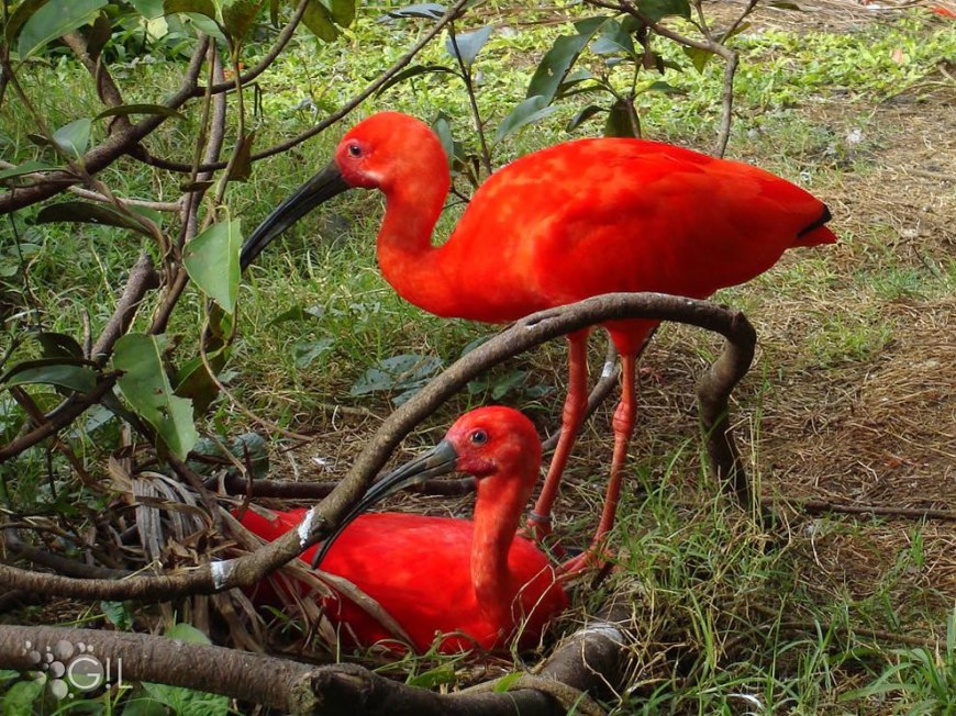 Tupi 'red bird' also known as the scarlet ibis one of the most beautiful Brazilian birds, because of the color of their plumage