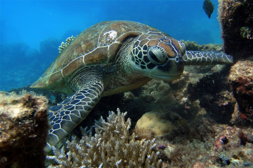 Turtle on the rock - Great Barrier Reef