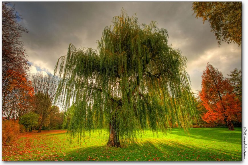 Weeping Willow during the fall in Germany