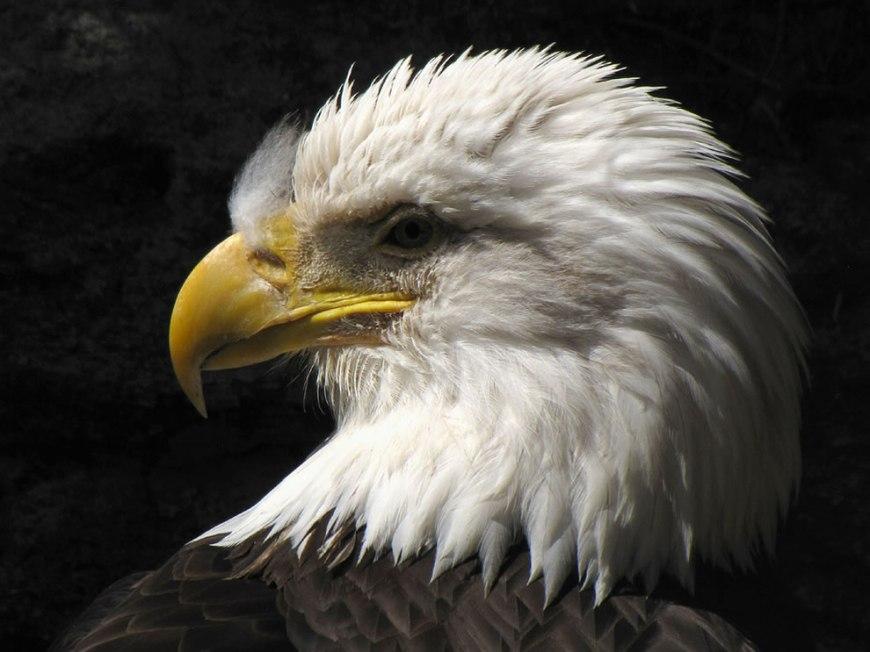 Bald Eagle Portrait Grandfather Mountain