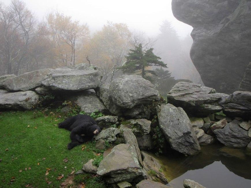 Black bear habitat on Grandfather Mountain