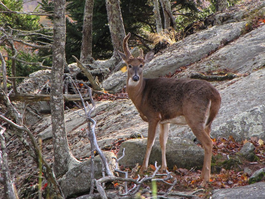 Dozer is one of two male deer at the Animal Habitats on Grandfather Mountain