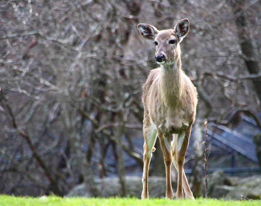 Deer Grandfather Mountain, NC